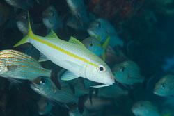 BD-101207-Playa-del-Carmen-2812-Mulloidichthys-martinicus-(Cuvier.-1829)-[Yellow-goatfish].jpg